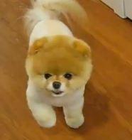 Caine Pomeranian Boo De Vanzare