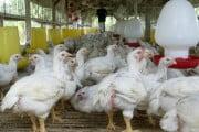 DNA: Frații Faraj, patronii Intermeridian Bacău, au obținut ilegal fonduri europene pentru construirea unui abator de păsări la Prăjești